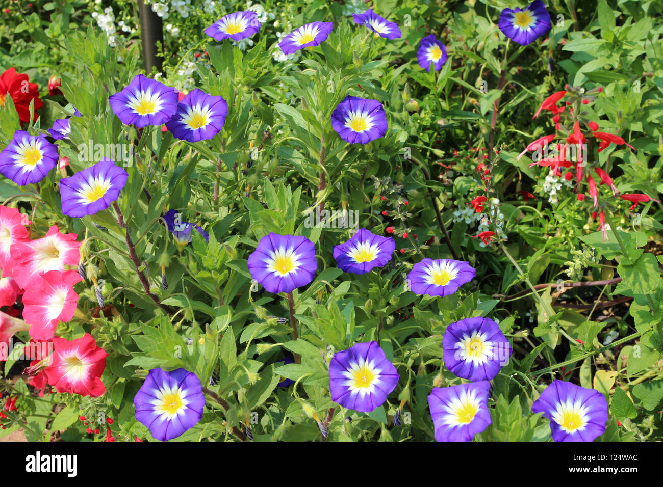 A group of purple and yellow morning glories in full bloom in the summer in Colorado, USA - Stock Image