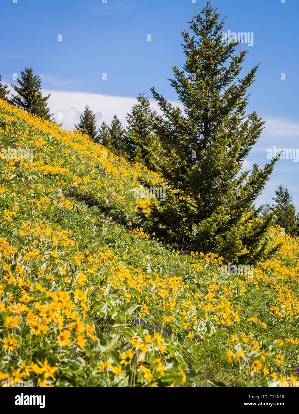 Balsamroot Flower Landscapes And Backgrounds With Evergreen Trees Stock Photo Alamy