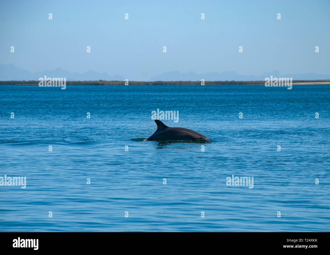 Bottlenose Dolphin (Tursiops truncatus) - Stock Image