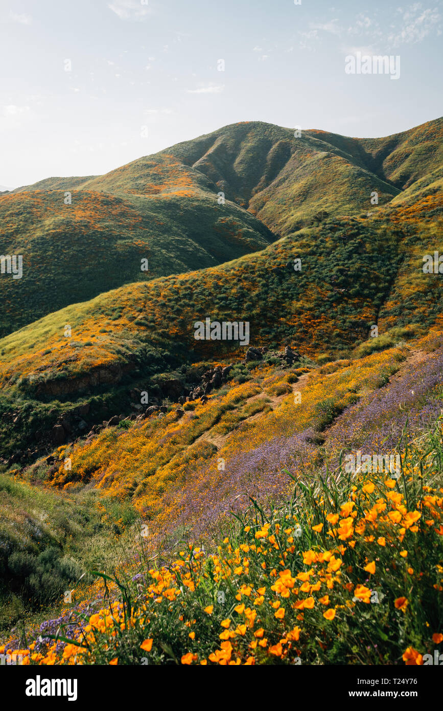 Poppies and view of mountains at Walker Canyon, in Lake Elsinore, California - Stock Image