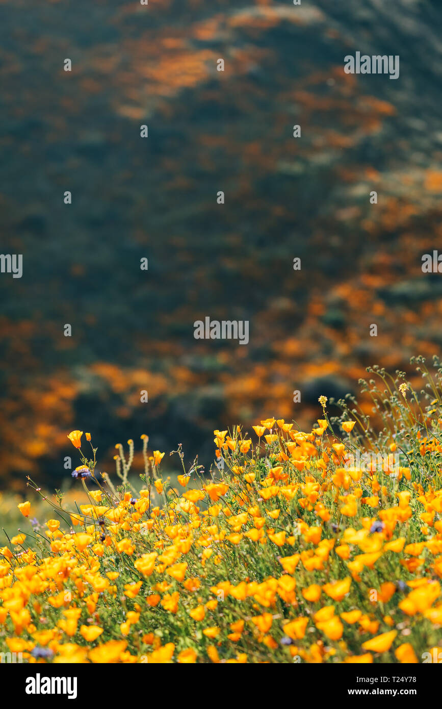 Poppies at Walker Canyon, in Lake Elsinore, California - Stock Image