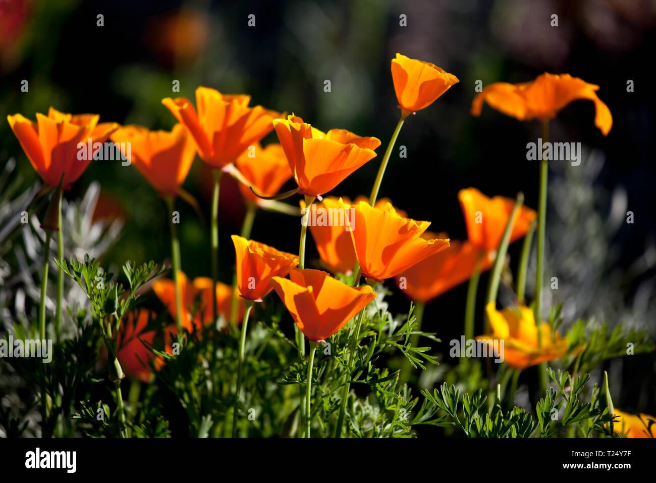 California poppy - Eschscholzia californica - Stock Image