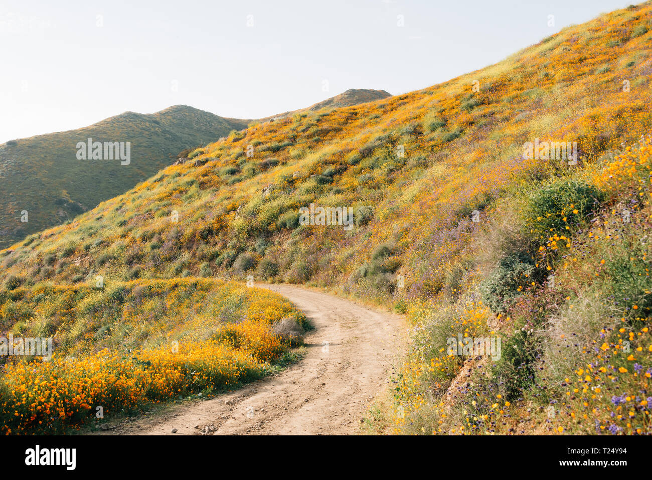 Poppies along the Walker Canyon Trail in Lake Elsinore, California - Stock Image