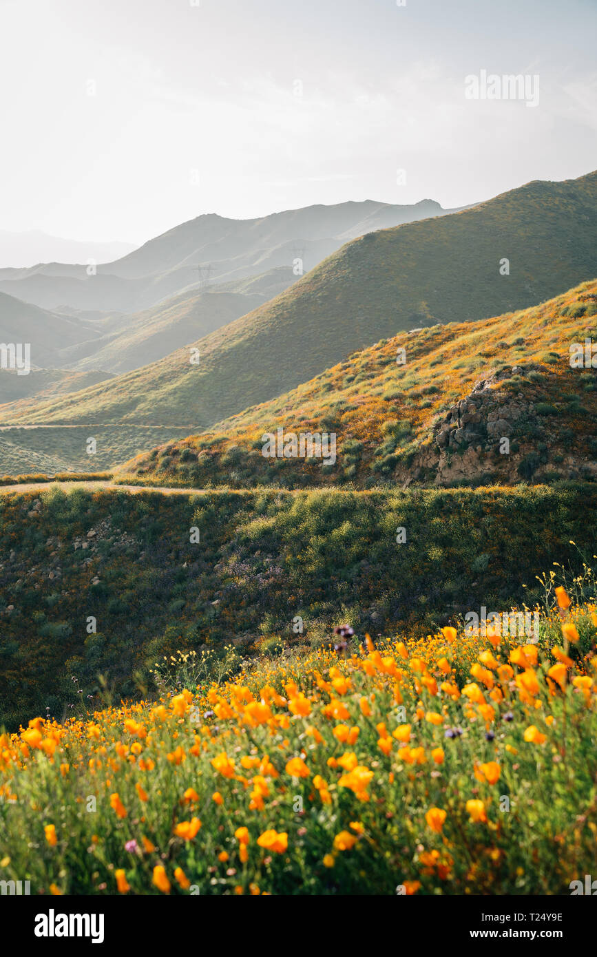 Poppies with view of hills at Walker Canyon, in Lake Elsinore, California - Stock Image