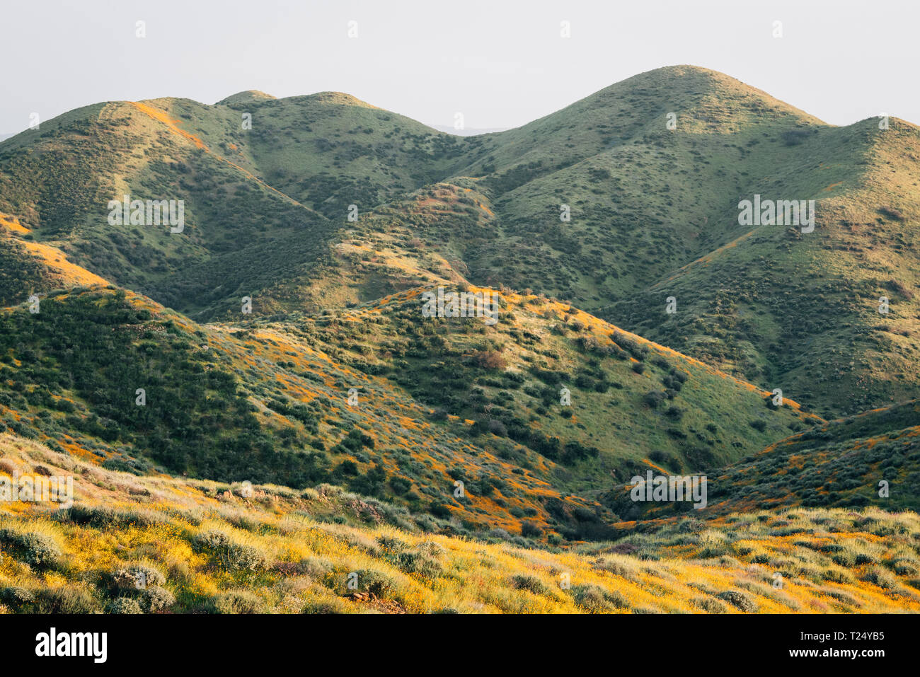 Poppies and green hills at Walker Canyon, in Lake Elsinore, California - Stock Image
