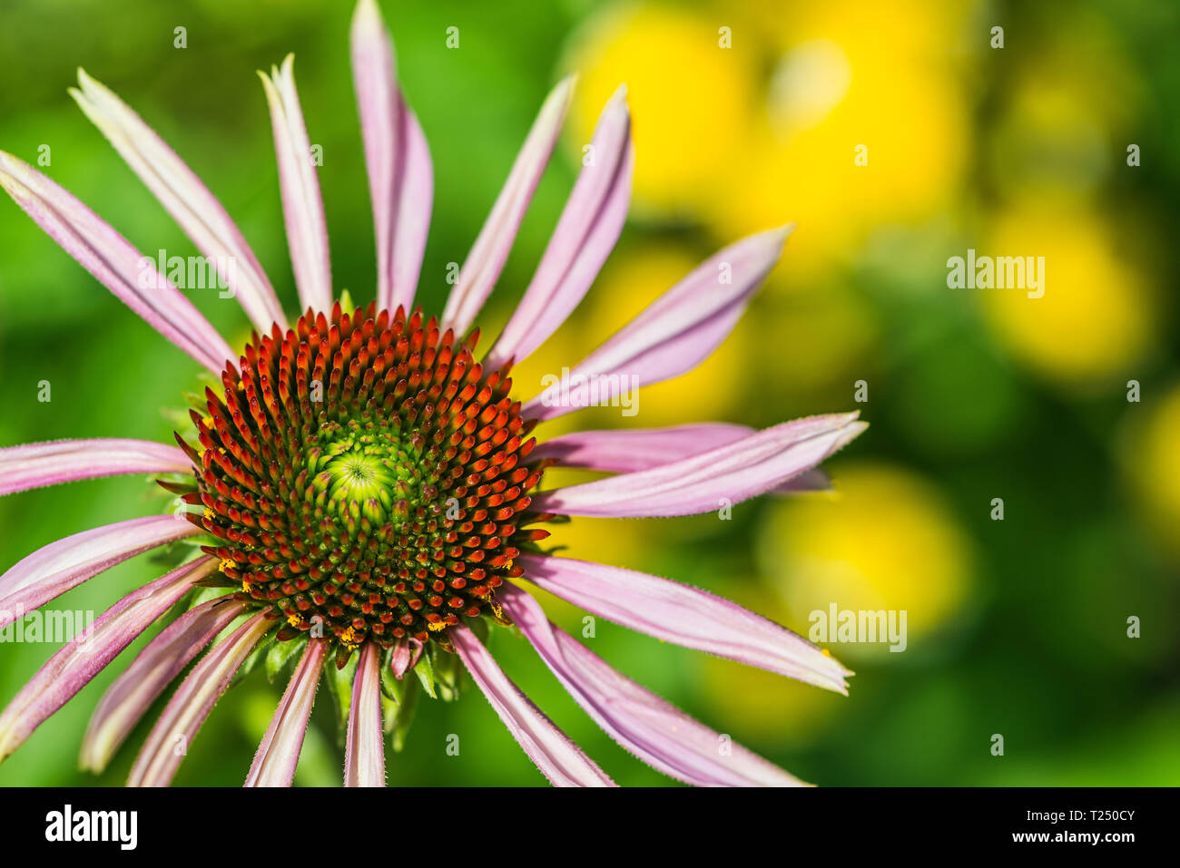 Close-up of flowerhead of pink cornflower, Echinacea purpurea 'Brilliant Star', combined with contrasting yellow flowers Stock Photo