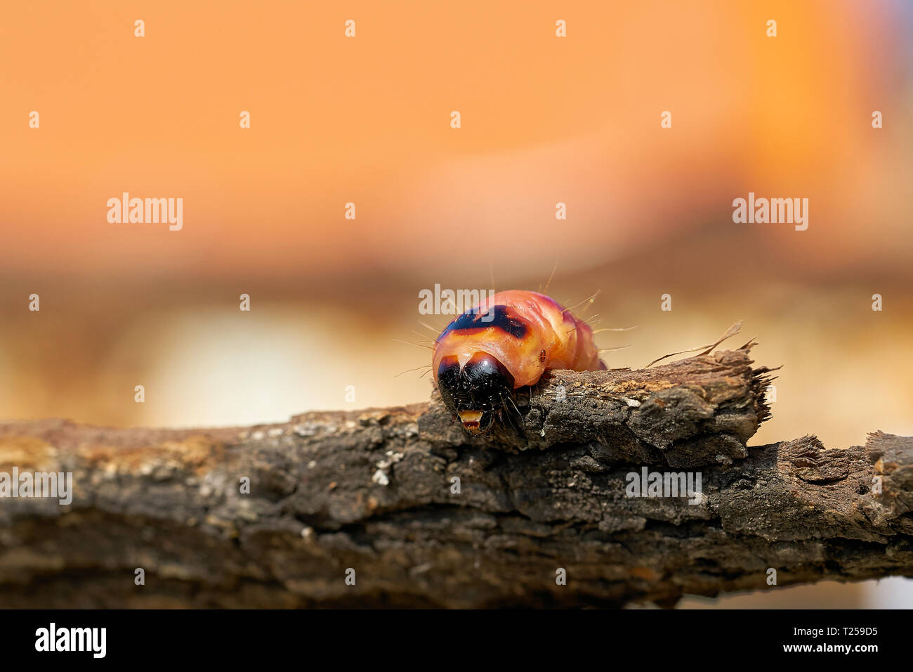 Larva of a goat moth (Cossus Cossus) on the bark of a tree Stock Photo