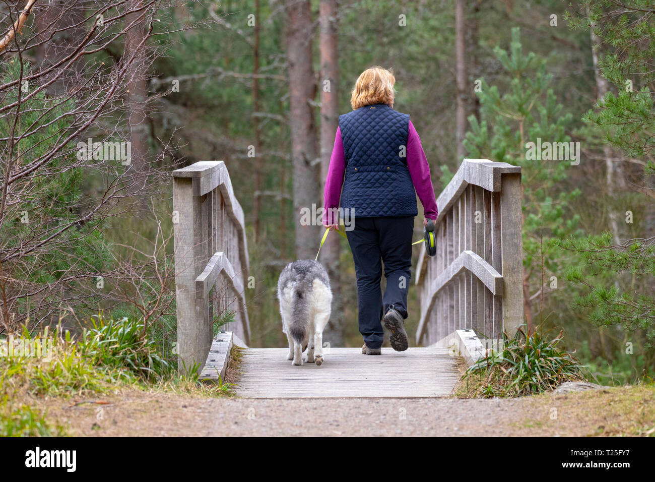 Female dog walker walking over the wooden bridge in Glenmore Forest to walk from Allt Mhor to Coire Cas in the Cairngorms National Park, Aviemore - Stock Image