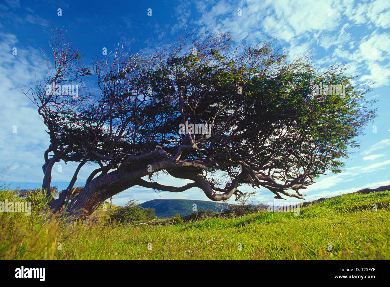Flag tree (Arbol bandera), tree formed by the wind, Tierra del Fuego, Patagonia, Argentina Stock Photo