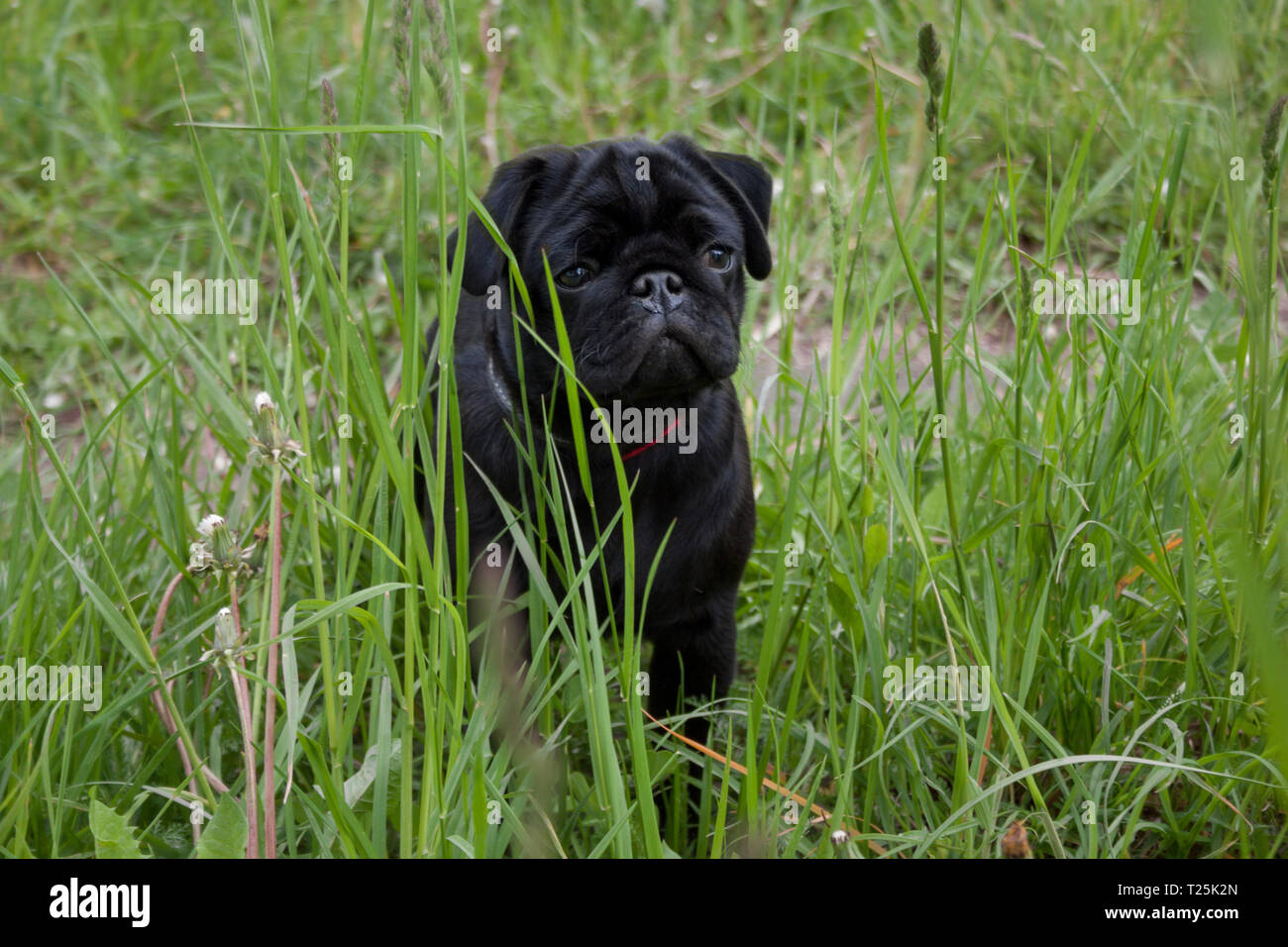 Chinese pug puppy is sitting in the green grass. Dutch mastiff or mops. Pet animals. - Stock Image