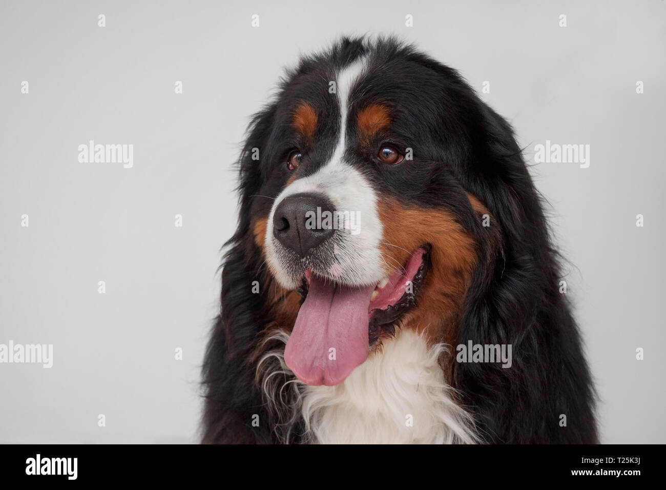 Cute Bernese Mountain Dog Puppy Isolated On A Gray Background Close Up Berner Sennenhund Or Bernese Cattle Dog Pet Animals Stock Photo Alamy