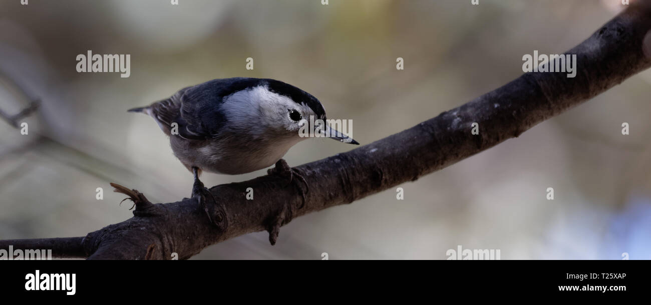 A nuthatch searches for a meal in Cheyenne, Wyoming - Stock Image