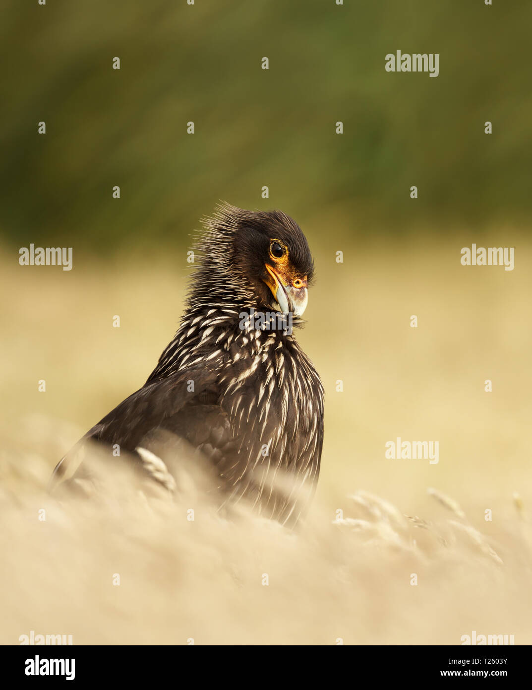 Close-up of Striated Caracara (Phalcoboenus australis) against green background, Falkland islands. Stock Photo