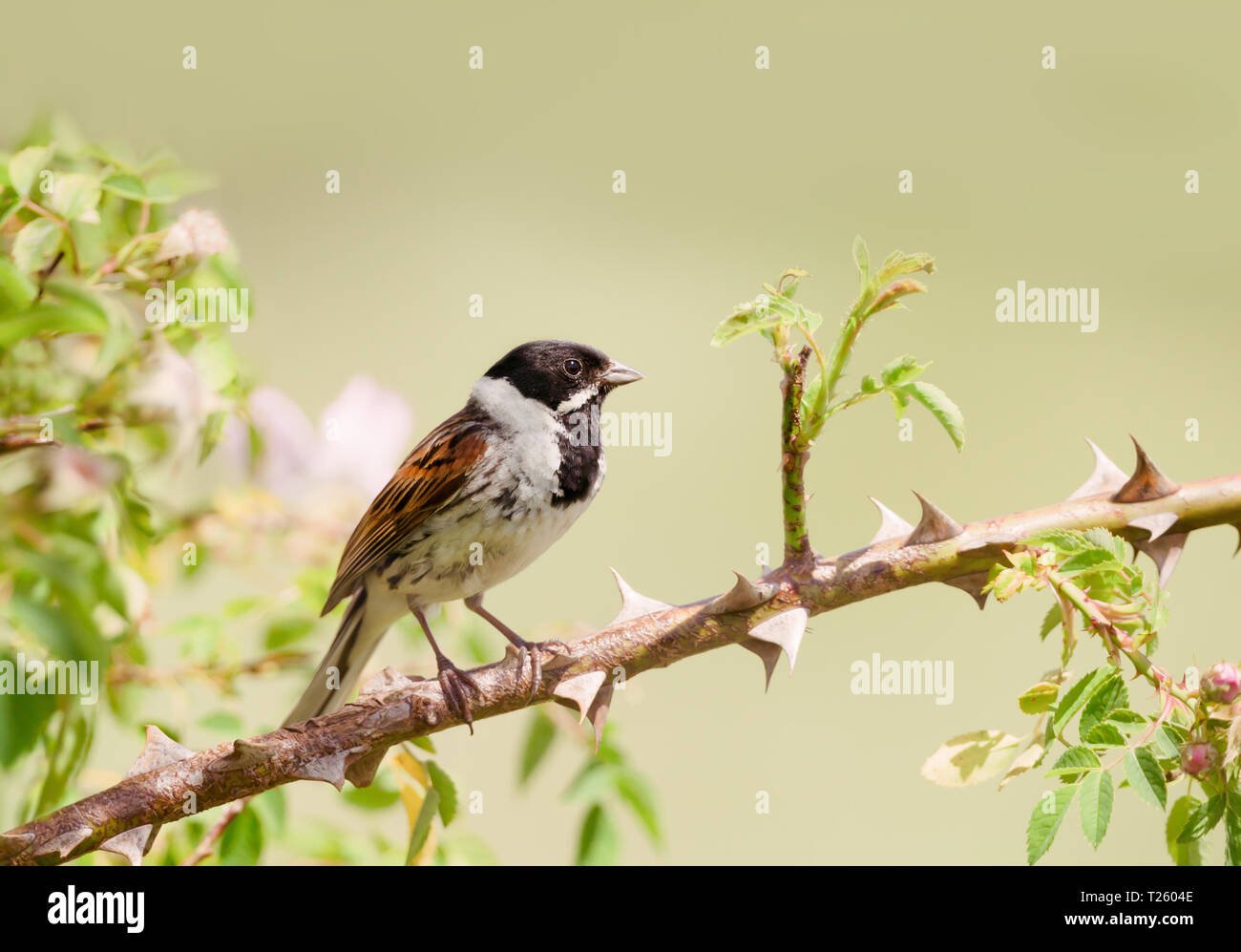 Close Up Of A Common Reed Bunting Emberiza Schoeniclus Perched In A Rose Bush Uk Stock Photo Alamy