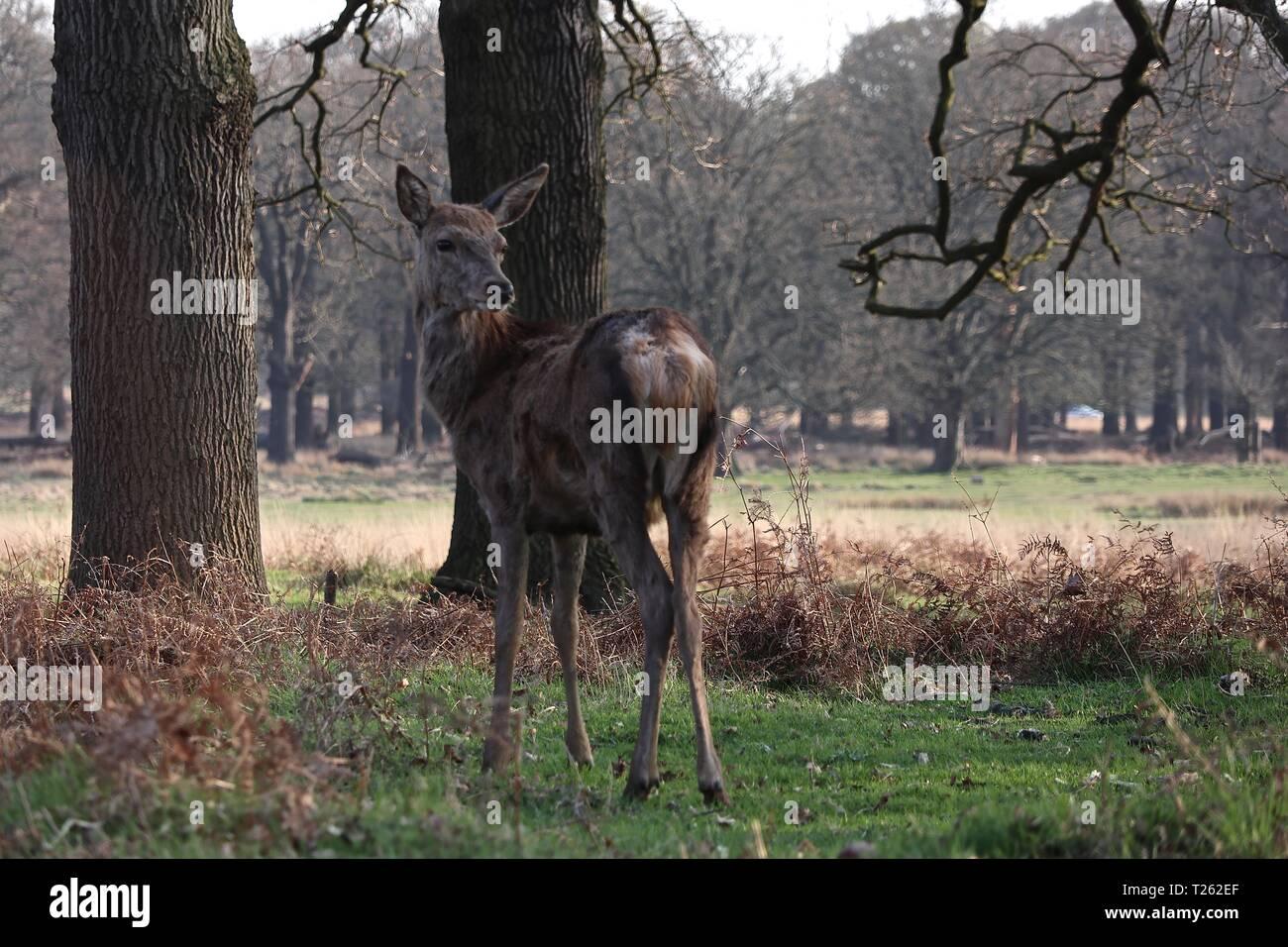 Deer in Richmond Park London England 2019 - Stock Image