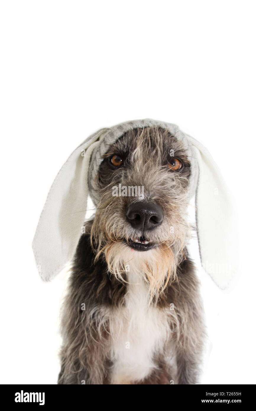 FUNNY EASTER DOG. BLACK PUREBRED PUPPY WEARING RABBIT EARS HAT. ISOLATED STUDIO SHOT AGAINST WHITE BACKGROUND. - Stock Image