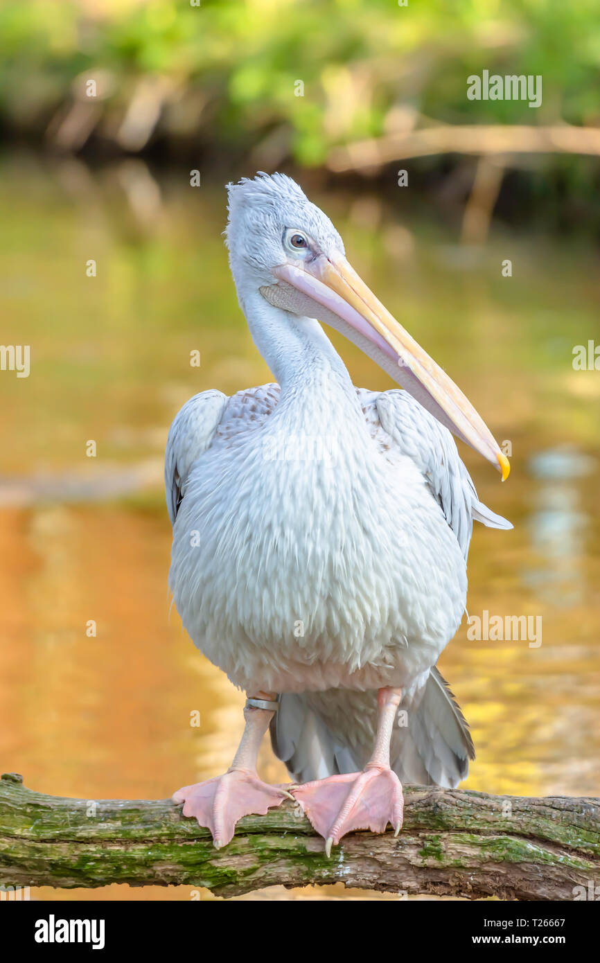 Portrait of pelican perching on tree branch above water with folded wings during golden hour.Wildlife photography.Horizontal orientation.Large and bea - Stock Image