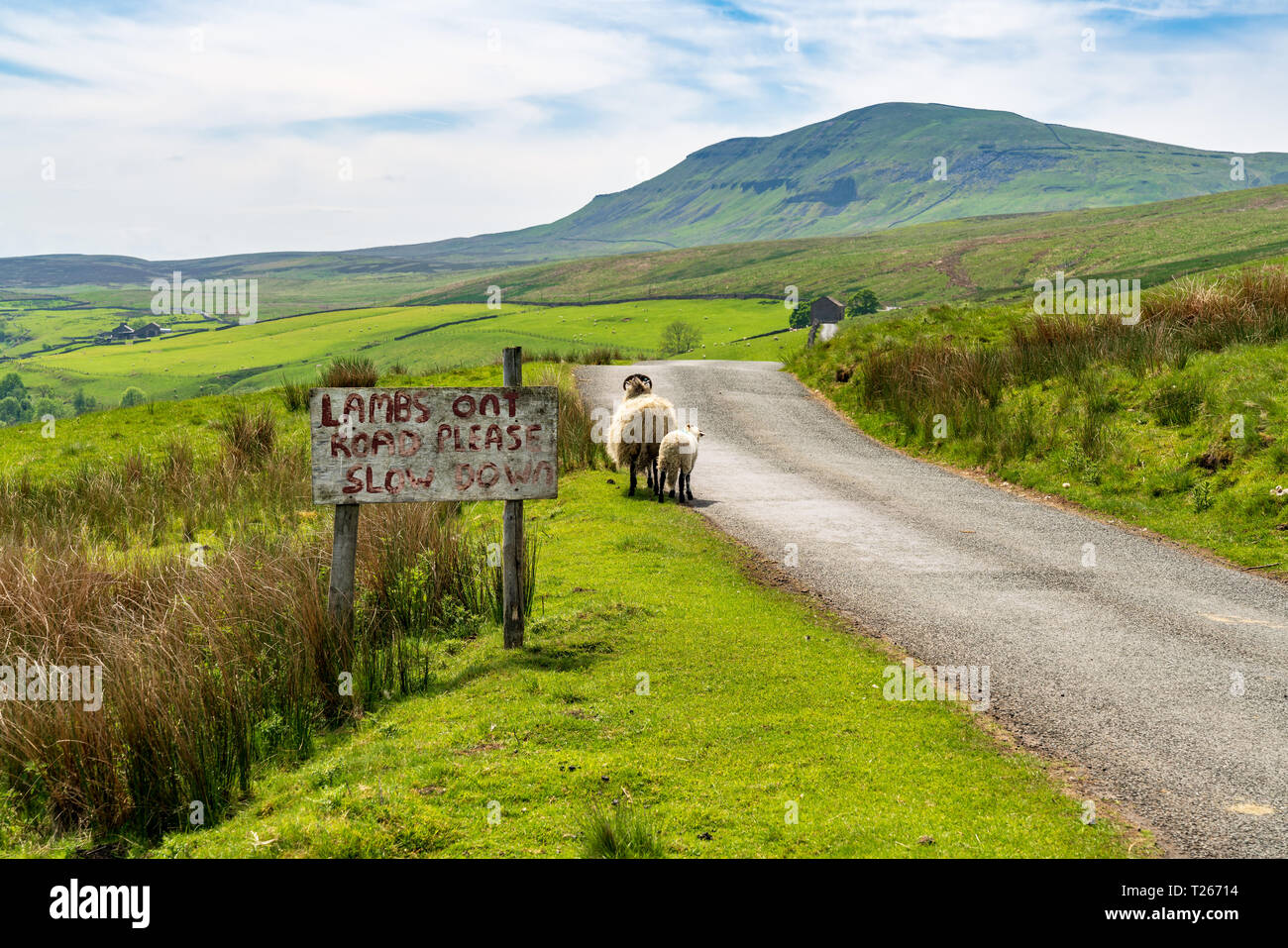 Sign: Lambs on Road please slow down, with sheep near the road, seen near Halton Gill, North Yorkshire, England, UK - Stock Image