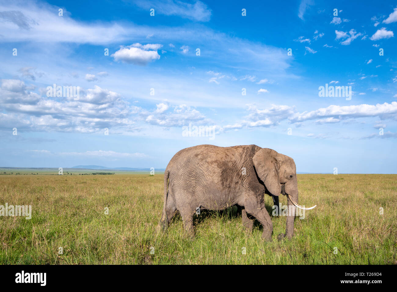 An African bush elephant (Loxodonta africana), aka African savanna elephant in Maasai Mara National Reserve , Kenya Stock Photo