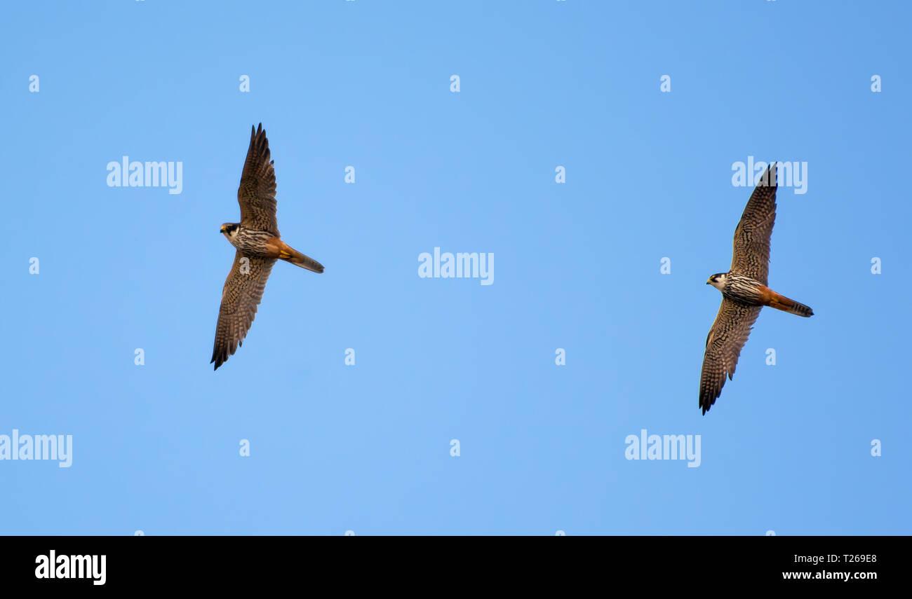 Adult Eurasian hobbies flying near their nest - Stock Image