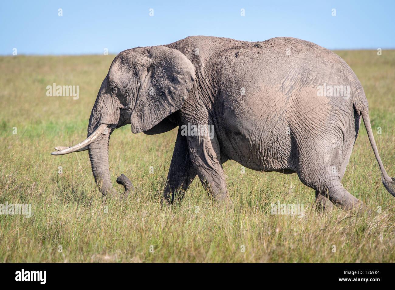 An African bush elephant (Loxodonta africana), aka African savanna elephant in Maasai Mara National Reserve , Kenya Stock Photo