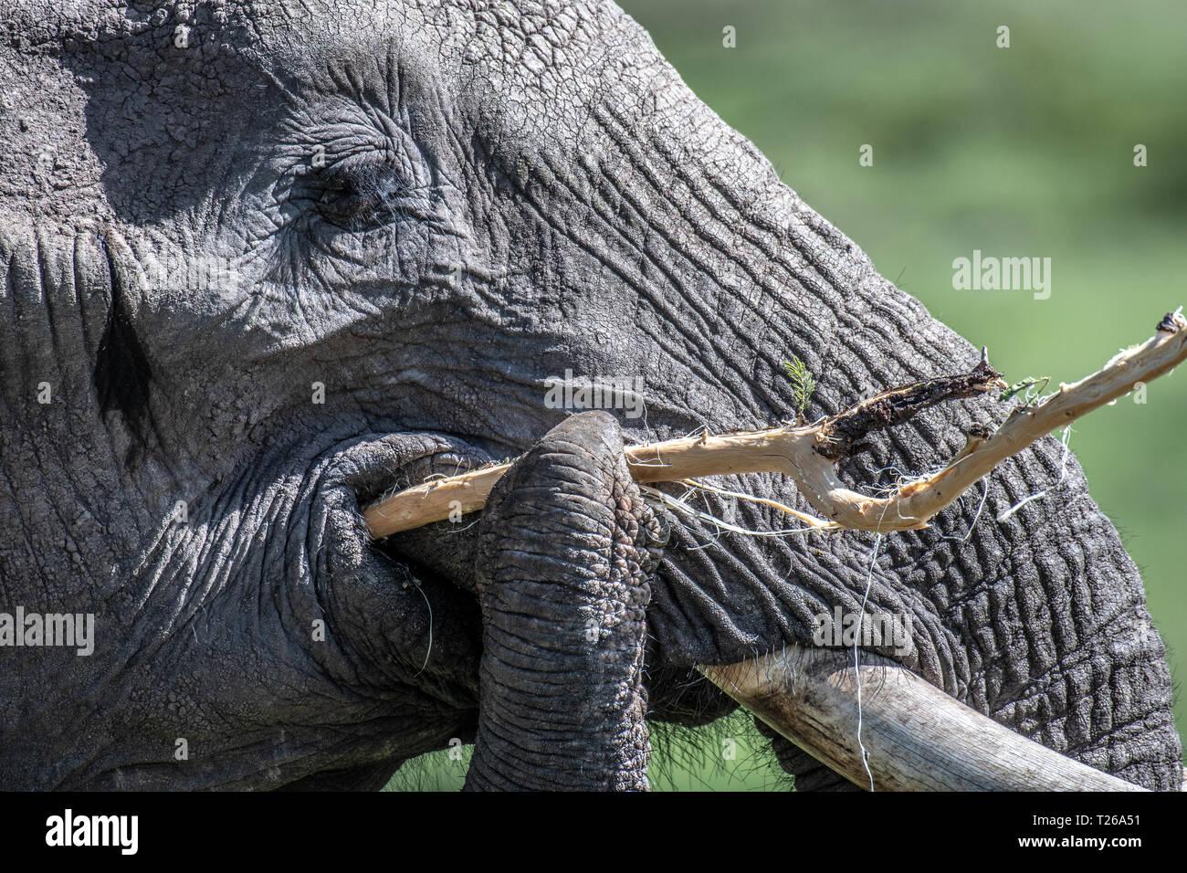 African bush elephant (Loxodonta africana), aka African savanna elephant - Maasai Mara National Reserve , Kenya Stock Photo