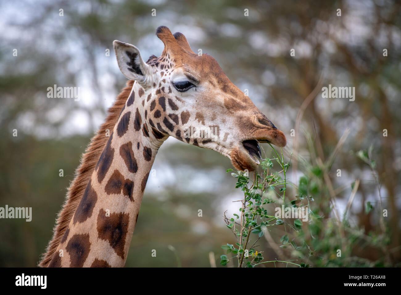 A Rothschild's giraffe (Giraffa camelopardalis rothschildi) eating leaves from a tree in Nakuru National Park, Kenya - Stock Image