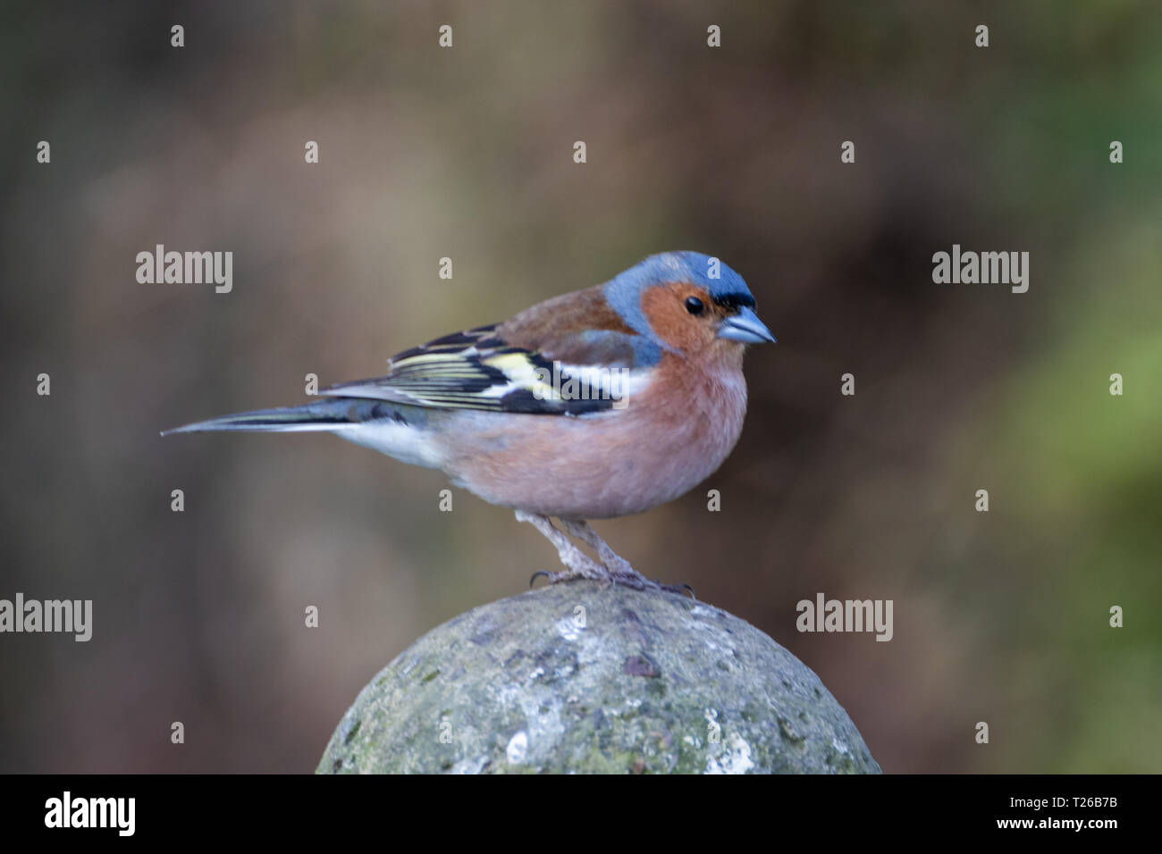 Chaffinch resting on a fence post close up - Stock Image