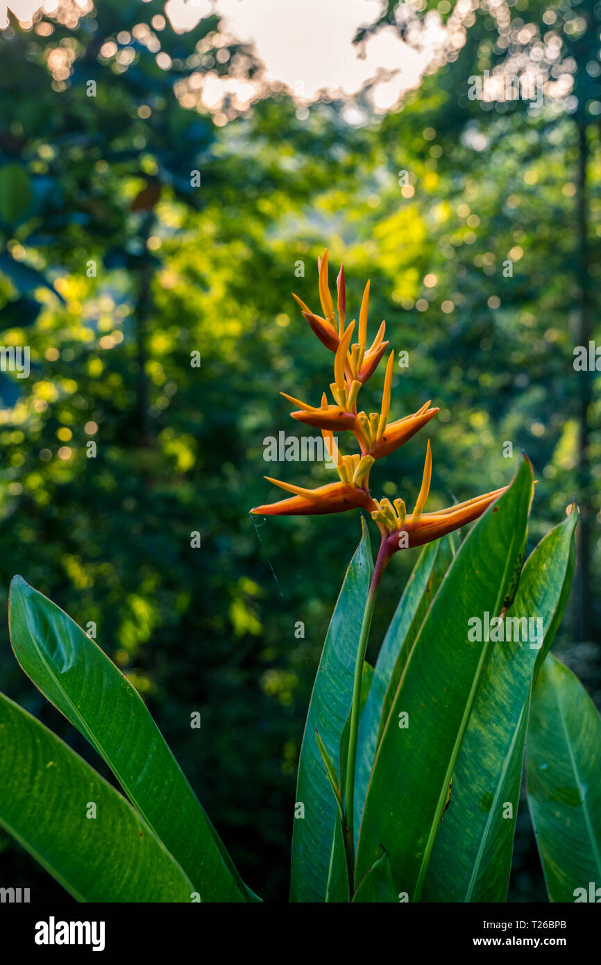Heliconia latispatha inflorescences blooming flower in rain forest - Stock Image