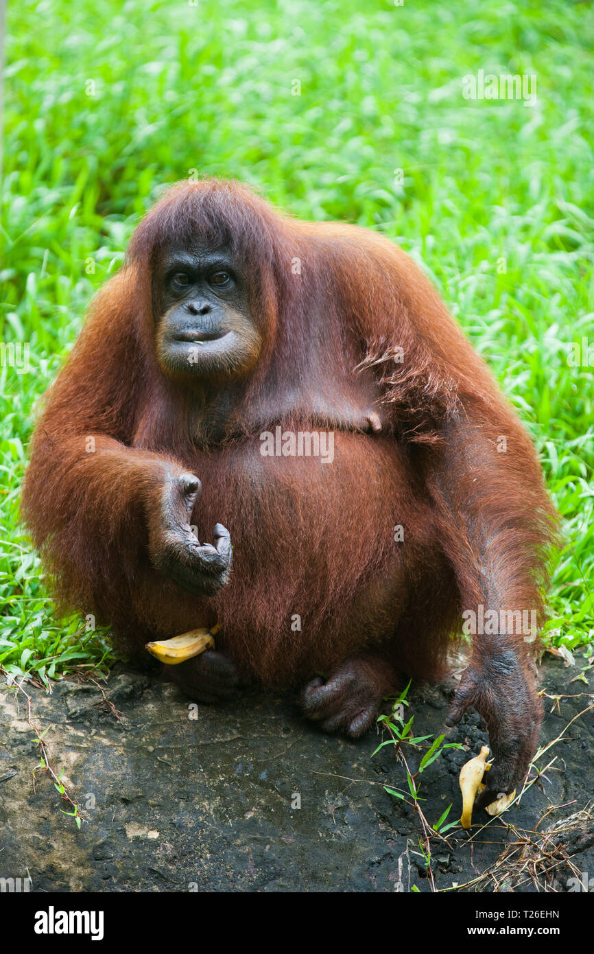Portrait of cute orangutan sitting in the grass and eating banana and looking at the camera. Borneo Stock Photo