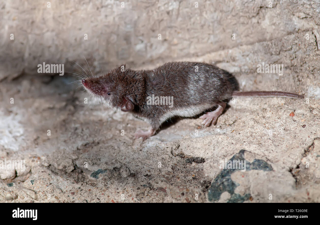 Common shrew smelling an air - Stock Image