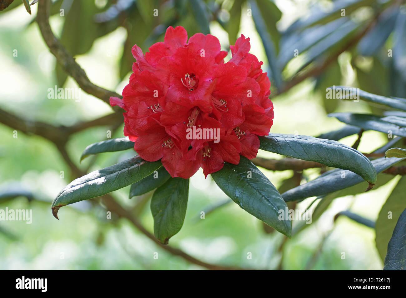 Rhododendron arboreum ssp. zeylanicum - Stock Image