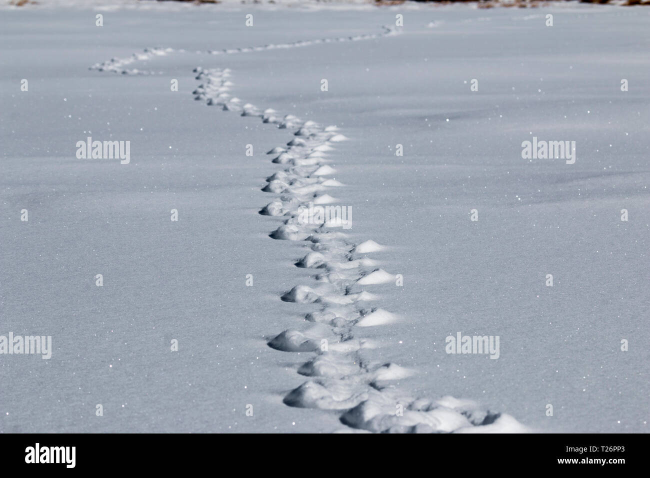 Line of Animal Tracks in the snow - Stock Image
