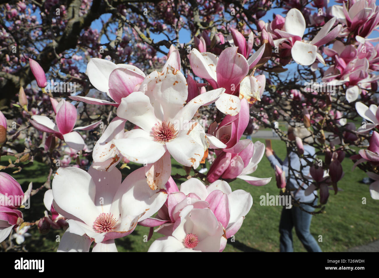 Gera Germany 30th Mar 2019 A Magnolia Tree Blooms In The Kitchen