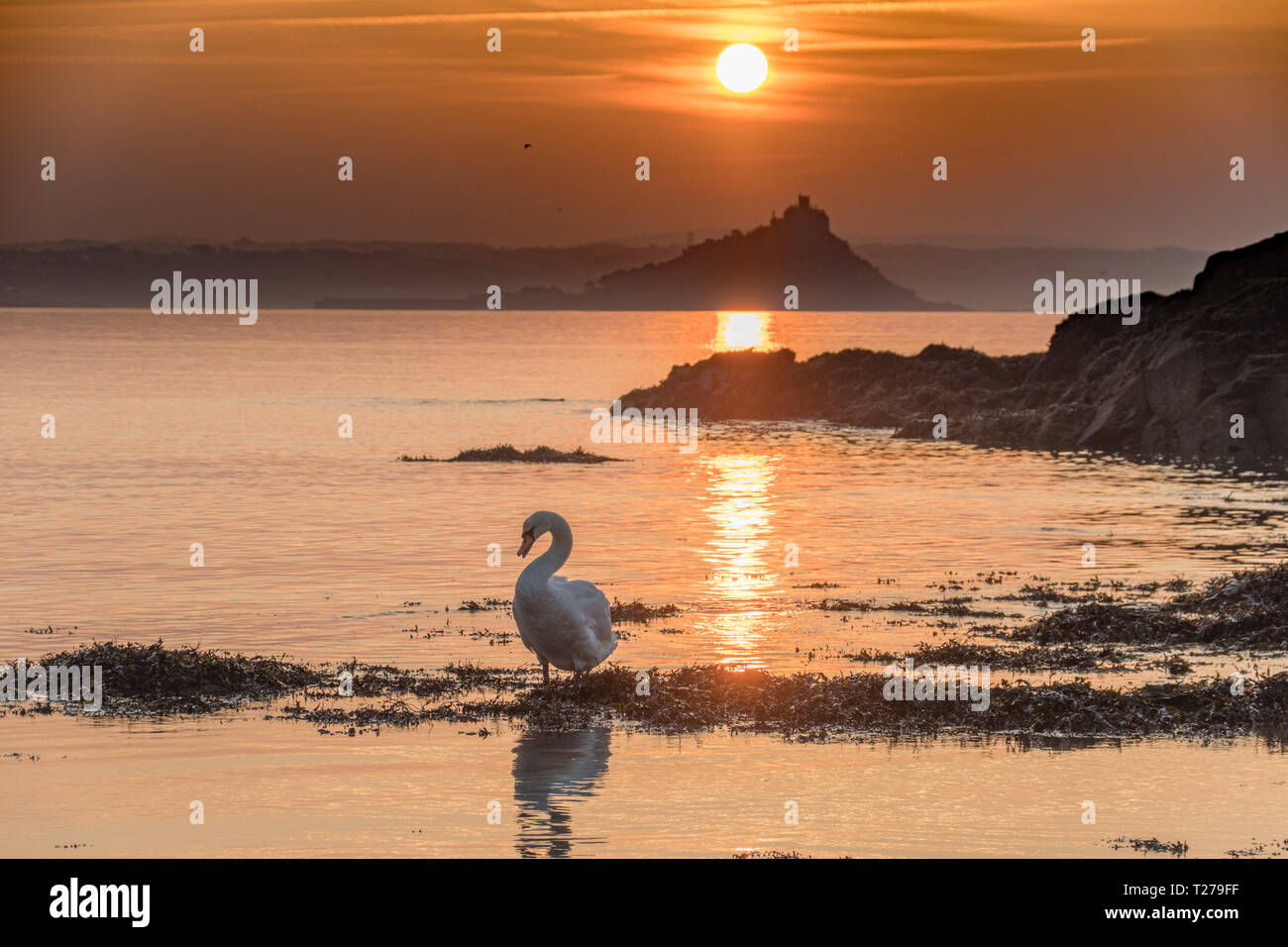 Swan on the sea at Mounts Bay in front of St Michaels mount at sunrise Stock Photo