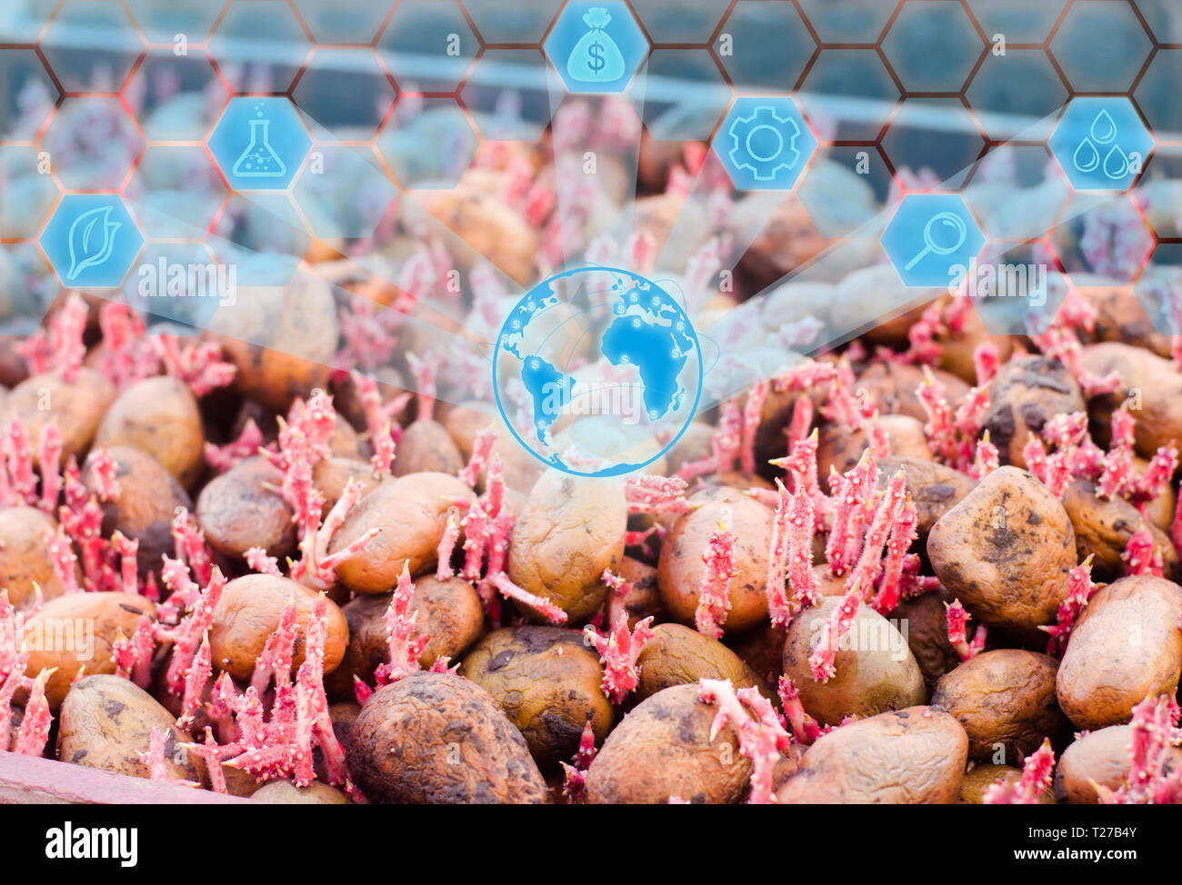 Seed potatoes with sprouts after processing from the Colorado beetle. Preparation for planting potatoes. vegetables, agriculture, farming, Innovations - Stock Image