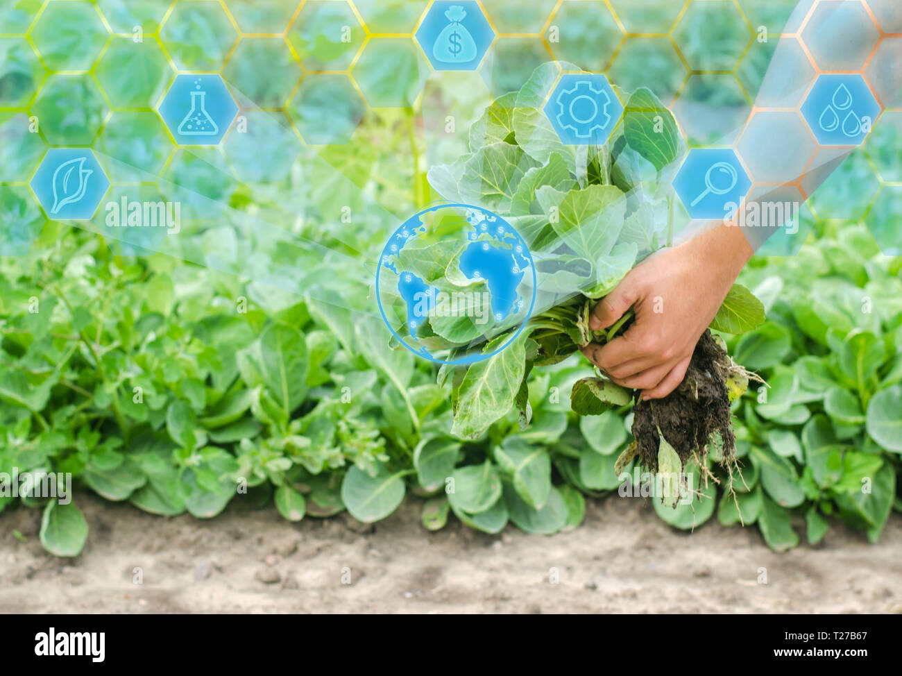 the farmer is holding cabbage seedlings ready for planting in the field. farming, agriculture, vegetables, agroindustry. Innovations in agriculture. H - Stock Image