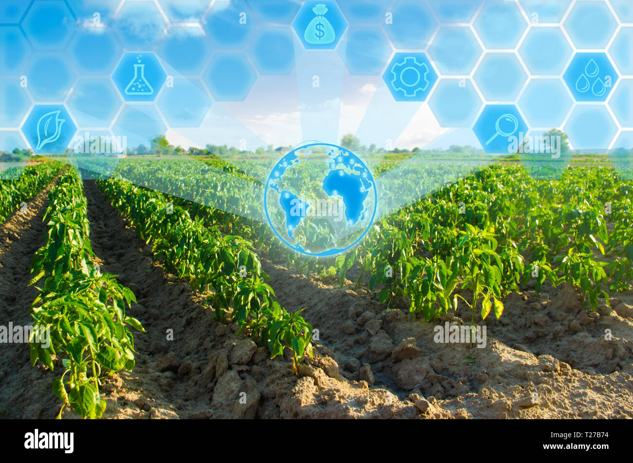 vegetable rows of pepper grow in the field. farming, agriculture. Landscape with agricultural land. Innovations in agriculture. High technology and re - Stock Image