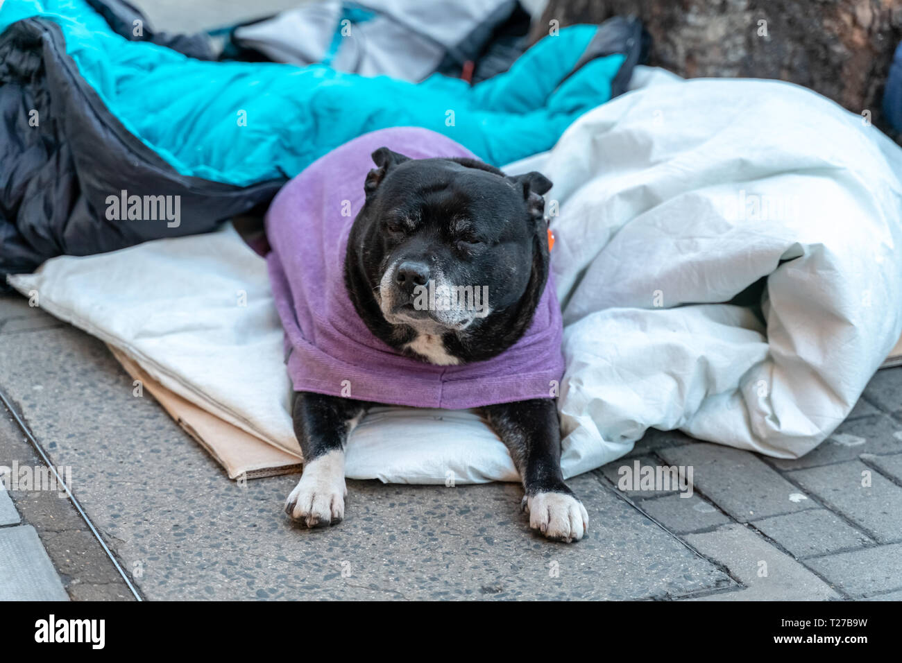 A hopeless dog lying alone and depressed on the street feeling anxious and lonely in sleeping bag and waiting for food. The concept of homelessness, u - Stock Image