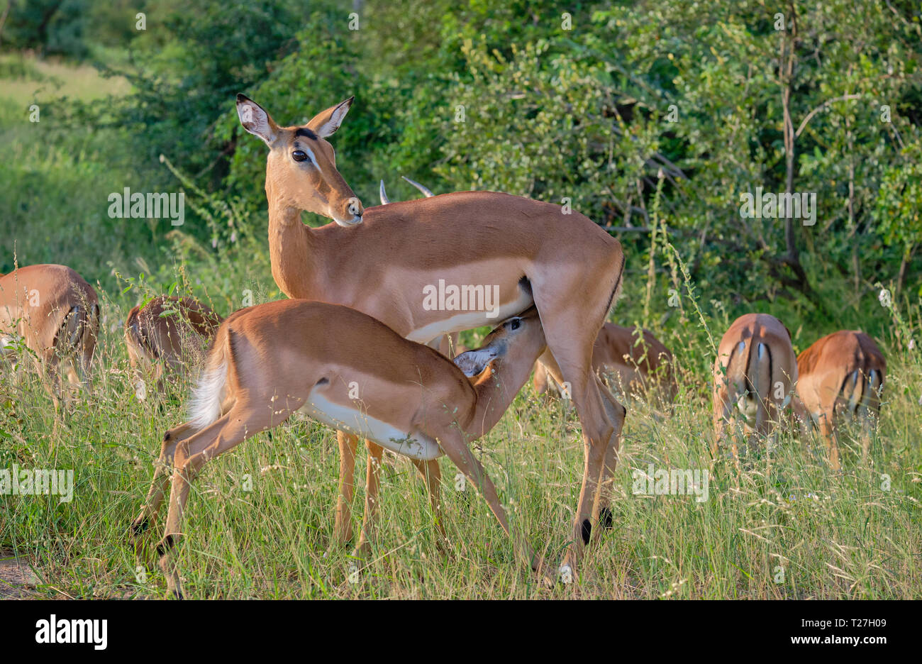 Baby impala feeding off it's mother in grassing green surrounding.  Other females seen in background Stock Photo