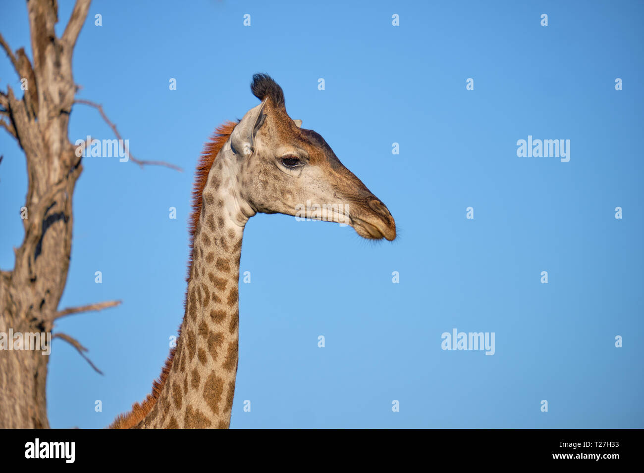 Profile head shot of South African Giraffe against blue sky with dead tree in background Stock Photo