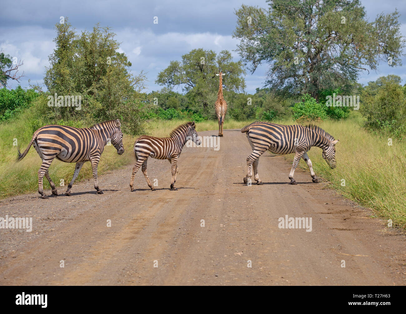 Family on Burchell Zebras, two adults on juvenile, crossing dirt road while a giraffe walks away in backgound Stock Photo
