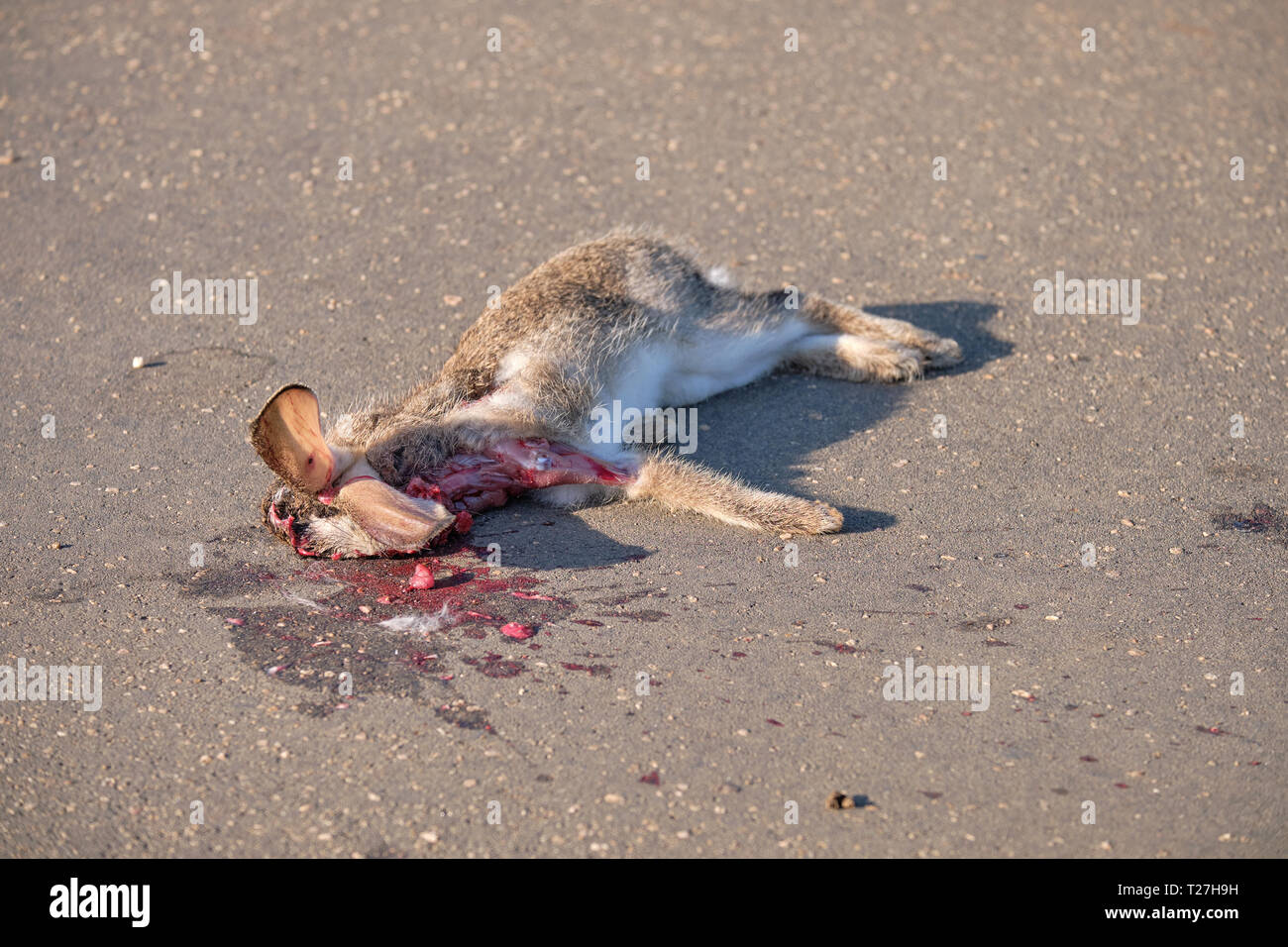 Hare roadkill on paved road.  Animal was hit at head level, but stll has ears sticking up Stock Photo