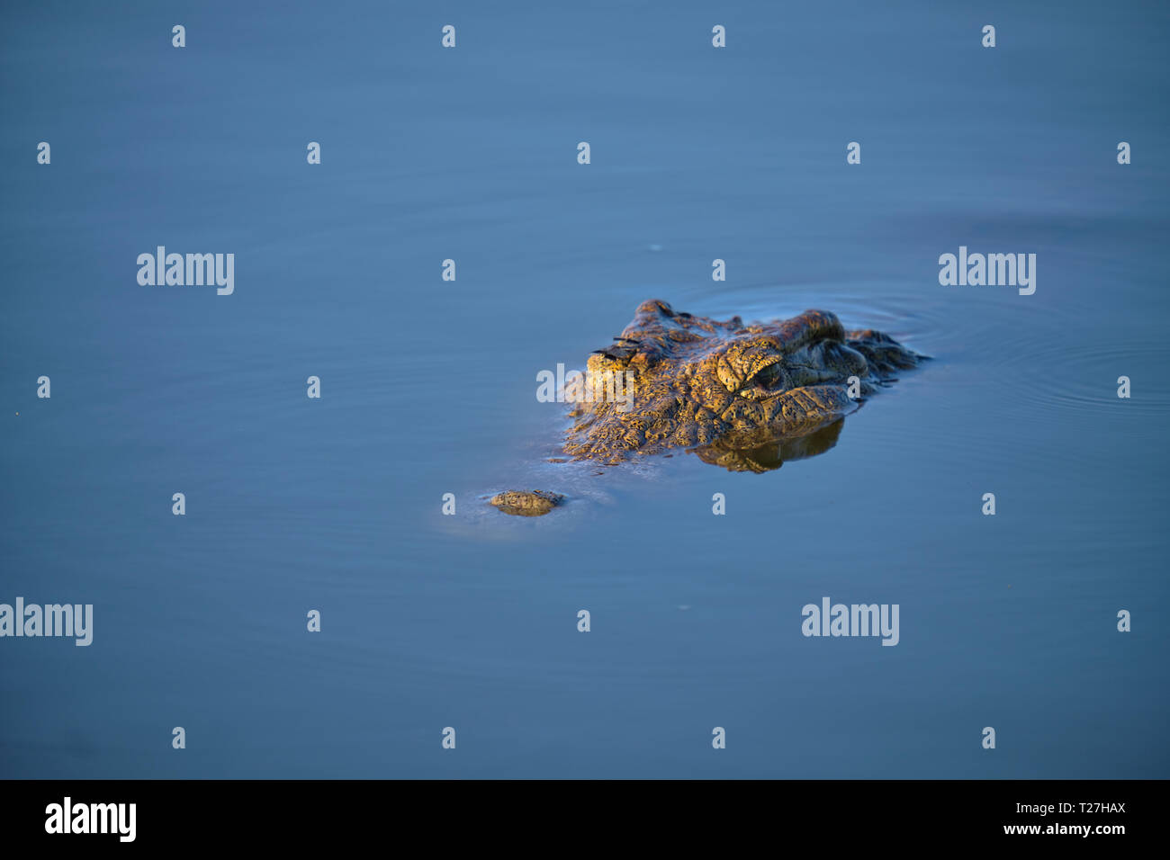 Eyes of crocodile sticking out on flat water in early morning light. Stock Photo
