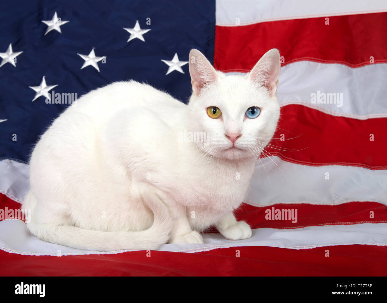 Portrait of a white cat with heterochromia (odd-eyes) crouched on an American flag, looking directly at viewer, tail curled up cute in front of her. P - Stock Image