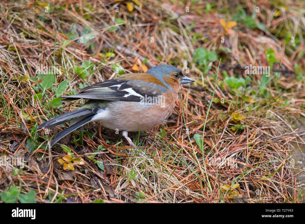Chaffinches (fringilla coelebs) in Bujaruelo valley, Ordesa y Monte Perdido national park. Stock Photo