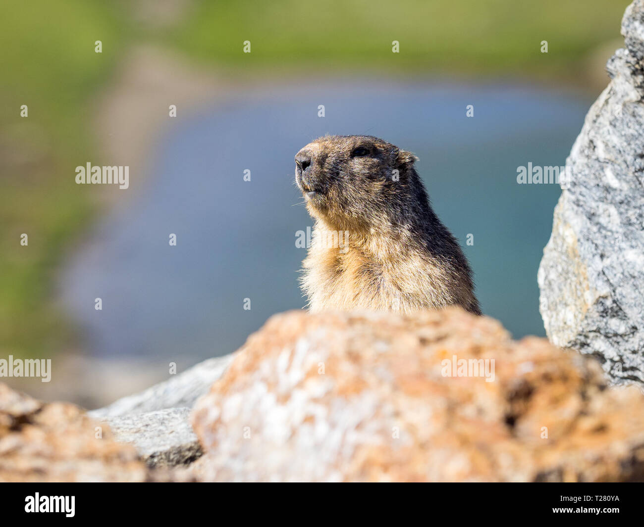 Adult example of marmot of the Alps (marmota marmota) coming out of its hole - Stock Image