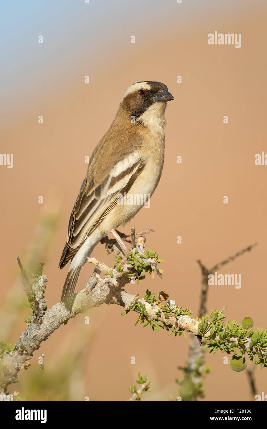 White-browed Sparrow-weaver - Plocepasser mahali, beautiful colorfull weaver from southern African bushes, Namibia. - Stock Image