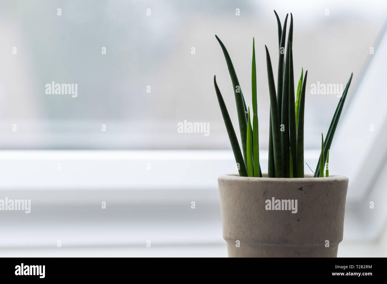 Houseplant - Mikado sansevieria - sanseveria - highkey Stock ... on one on me plant, spanish dagger plant, male marijuana plant, minima plant, caledonia plant, jolly green giant plant, giant sunflower seeds to plant, linden plant, grand duke plant, paw paw plant, jacob's coat plant, green bamboo plant, red hot plant, daruma plant, polyploid marijuana plant, forever plant, sketch plant, schwag weed plant, parts of a marijuana plant, holly plant,