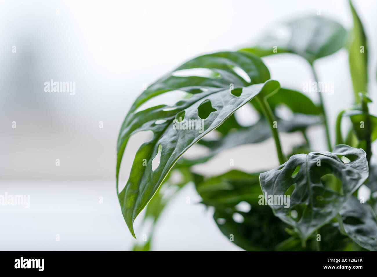 Houseplant - Philodendron monstera deliciosa - cheese plant - highkey - Stock Image